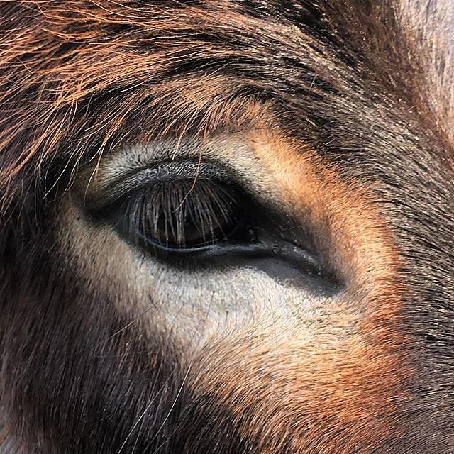 Yeti #donkey eye