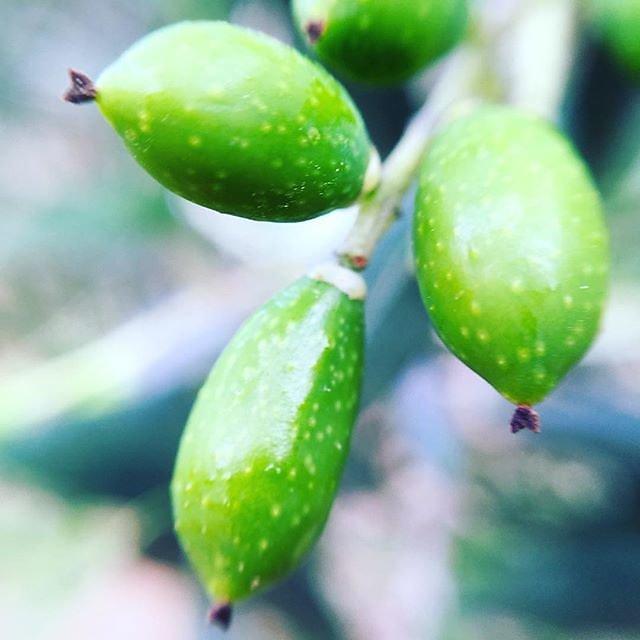 #olives #olivegrove #olivegarden #olive #olivenöl  #olive_oil #oliveoil @maisonlambot